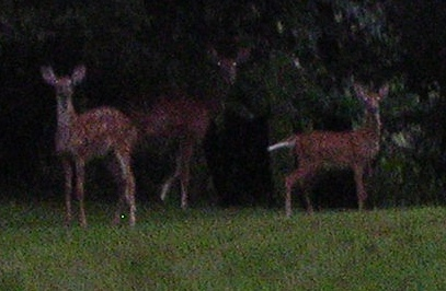 Our doe, game leg raised, with two fauns earlier this year--her own on the right and an 'adopted' one on the left