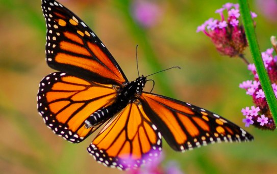 Mexico-bound Monarch butterfly...but will the butterfly reserve still be there for it?