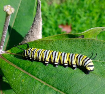 Monarch caterpillar preparing for lunch on a milkweed leaf (photo by Dave Lindorff)