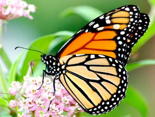 Monarch butterfly perched on a Milkweed flower
