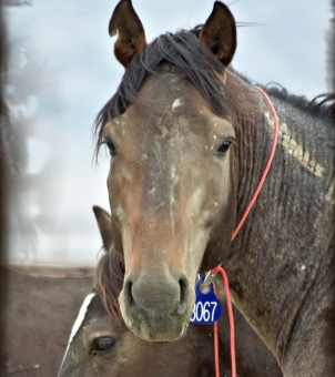 """Wild Horses with the BLM's """"no brand"""" brand on their necks awaiting their fate (photo by Terry Fitch of Wild Horse Freedom Feder"""