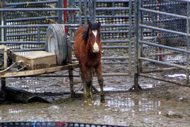 Terrified and sweaty from being stampeded, a young wild colt cowers in the trap (photo by Laura Leigh)