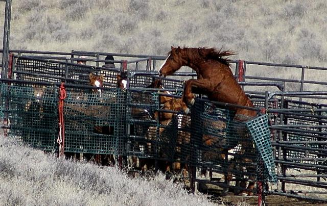 Trapped wild horse caught trying to escape its cage (photo by Laura Leigh)